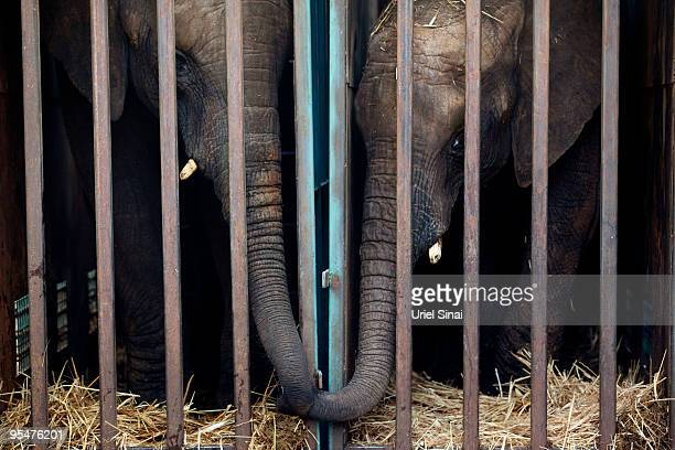 African elephants Bakbuki and Noah look out from their cages at the Ramat Gan Safari Park as they leave for a zoo in Hungary on December 28 2009 in...