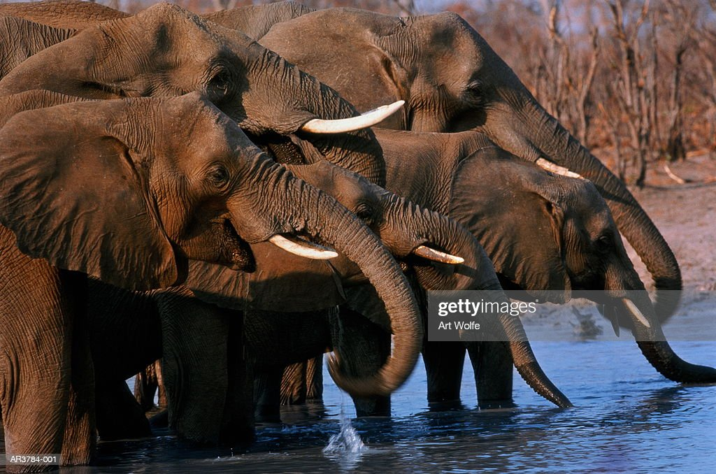 African elephants (Loxodonta africana), Botswana : Stock Photo