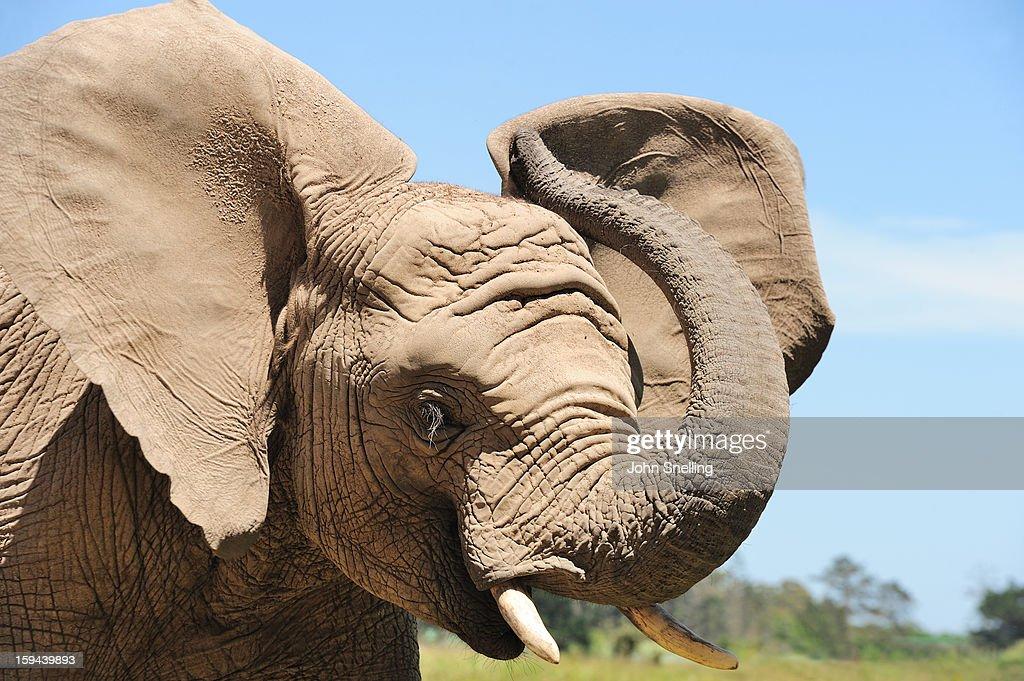African Elephants Close Up : Stock Photo
