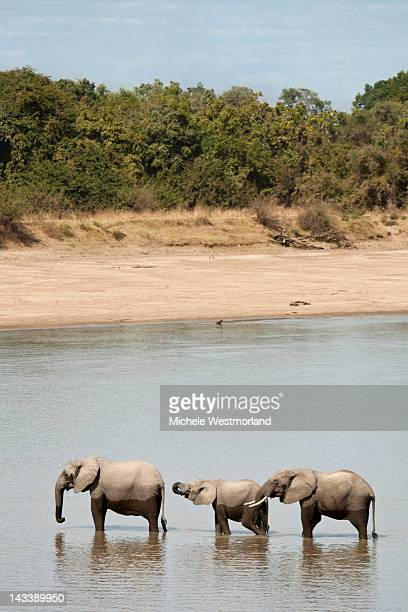 African Elephants Crossing Ri