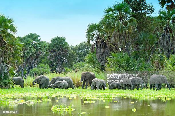 African Elephants drinking water at Lake Manze, Selous, Tanzania