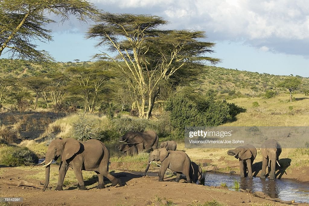 African Elephants drinking water at pond in afternoon light at Lewa Conservancy, Kenya, Africa : Stock Photo