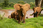African Elephants Emerging from River