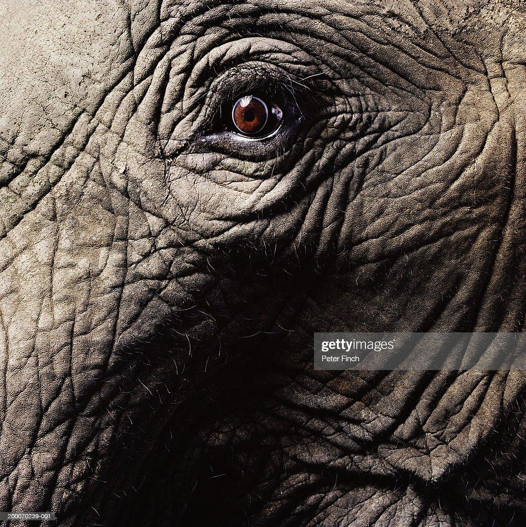 African elephant's eye, close-up : Stock Photo