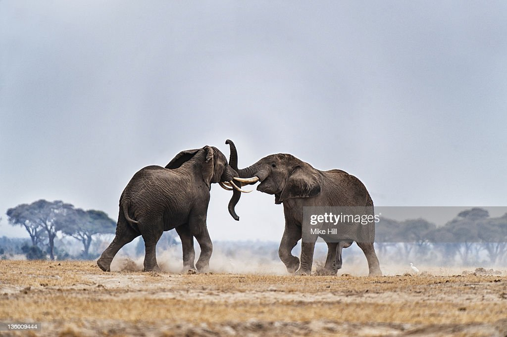 African Elephants fighting : Stock Photo