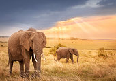 African elephants in sunset light