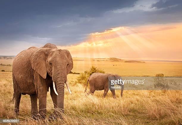 Elefantes africanos em luz pôr do sol