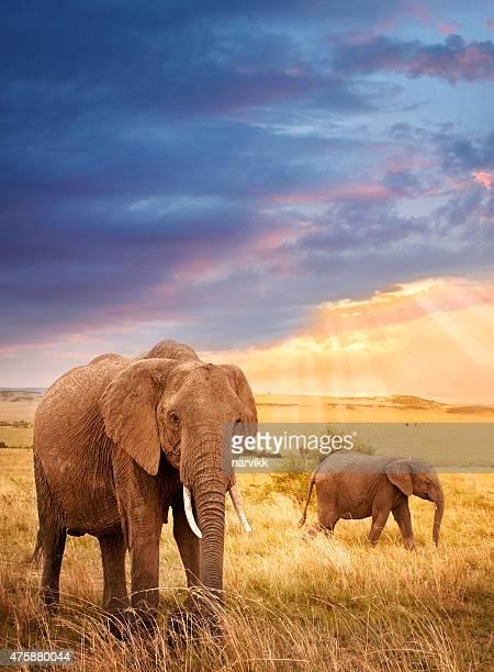 Los elefantes africanos luz de la puesta de sol