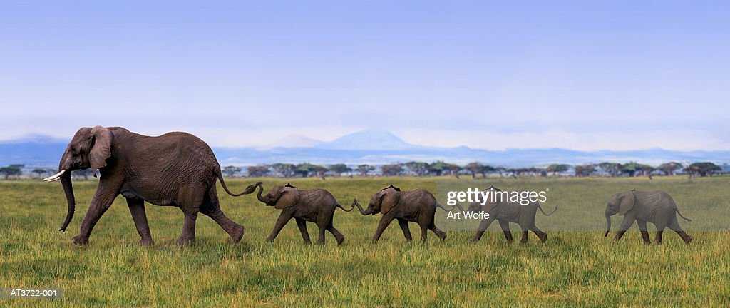 Amboseli National Park, Kenya. Elephants are gregarious animals that live in herds of 10-20. Females mate for the first time during their 15th-16th years. Gestation period is 21-22 months. Calves suckle for 2 years before being weaned.