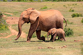 African Elephants -Loxodonta africana-, adult female with young, Addo Elephant National Park, Eastern Cape, South Africa
