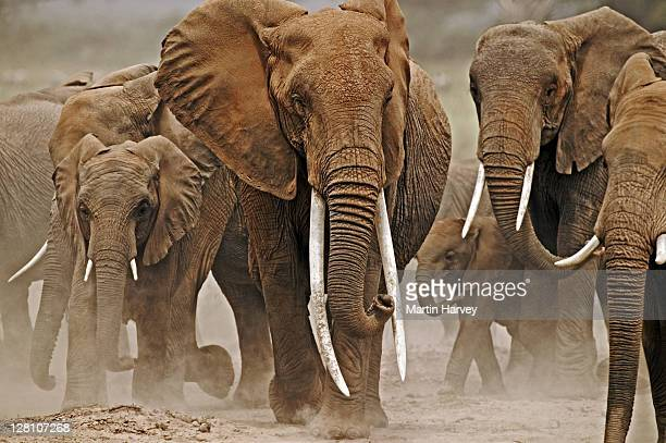 African Elephants, Loxodonta africana. Female elephant with exceptionally long tusks. Amboseli National Park, Kenya. Dist. Sub-saharan Africa