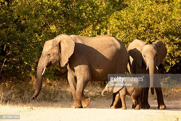 African Elephants -Loxodonta africana- with young, Kruger National Park, South Africa