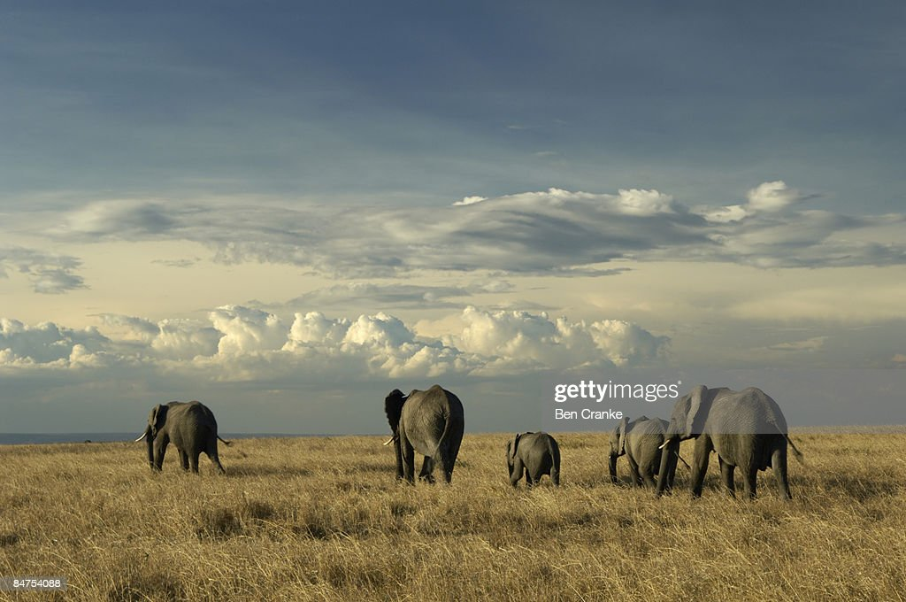 African elephants, Masai Mara Game Reserve, Kenya : Stock Photo