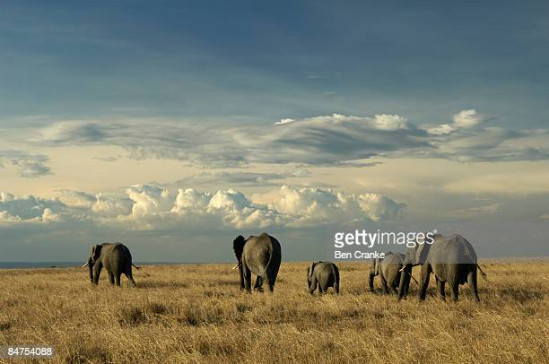 African elephants, Masai Mara Game Reserve, Kenya