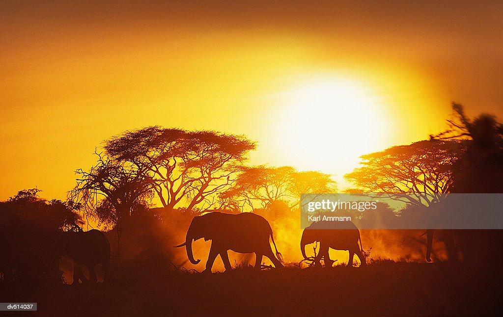 African Elephants moving at sunset (Loxodonta africana) : Stock Photo