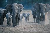 African elephants (Loxodonta africana) on the move, Masai Mara, Kenya