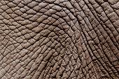 African elephant's (Loxodonta africana) skin, full frame