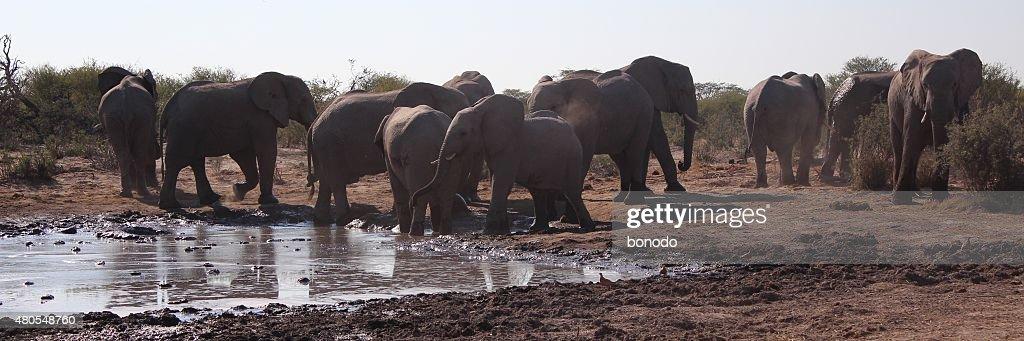 Afrikanische Elefanten, die um ein Wasserloch in Botswana : Stock-Foto