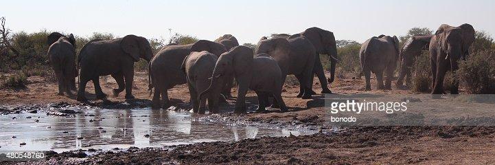 Elefantes africanos em pé em torno de um buraco no Botsuana Abeberamento : Foto de stock