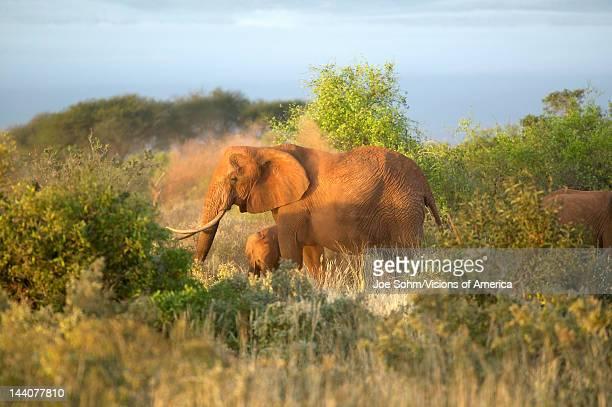 African Elephants taking a dust bath in Tsavo National Park Kenya Africa