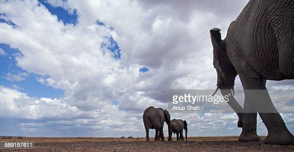 African elephants walking away