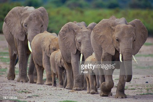 african elephants walking in line stock photo getty images