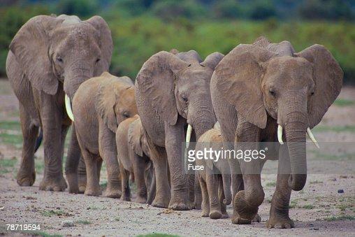 African Elephants Walking in Line