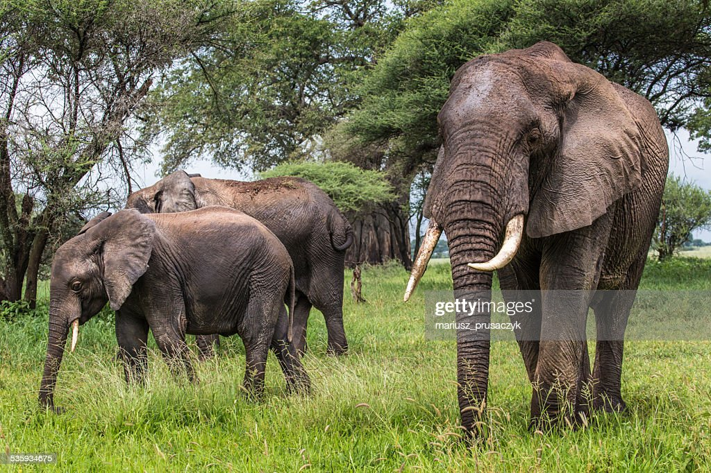 African elephants walking in savannah in the Tarangire National : Stock Photo
