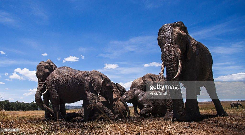 African elephants wallowing at a waterhole