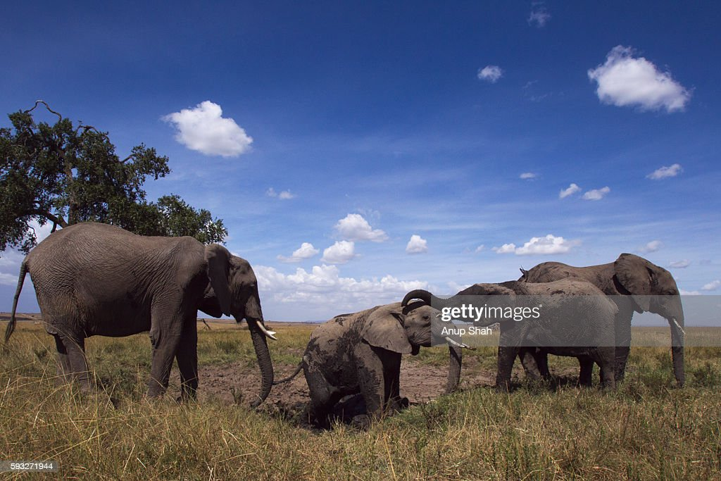 African elephants wallowing in mud at a dried up waterhole