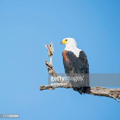 African fish eagle at lake manze tanzania stock photo for Eagle lake texas fishing