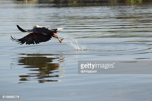 African Fish Eagle catches a Fish : Stock Photo