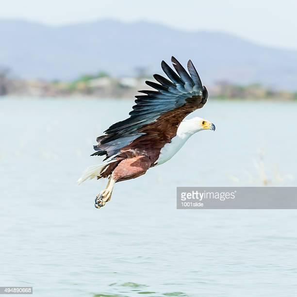 African Fish Eagle - preying