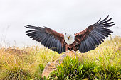 African fish eagle perched on a rock with his wings spread wide open.
