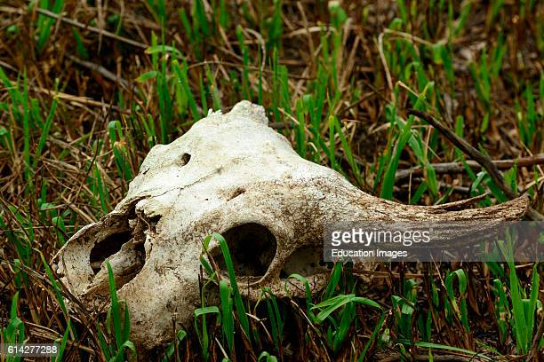 African forest buffalo skull in Lango Bai OdzalaKokoua National Park CuvetteOuest Region Republic of the Congo