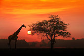 African Giraffe at sunrise with alone tree