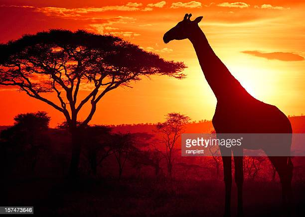African Giraffe at Sunset