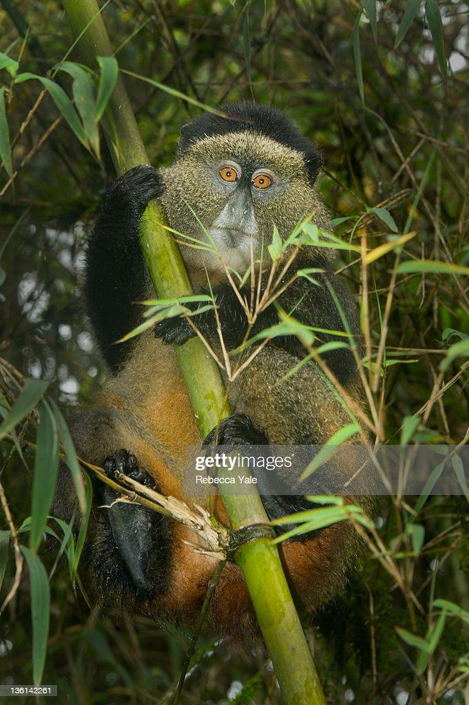 African golden monkey : Stock Photo