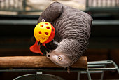 African Grey Playing