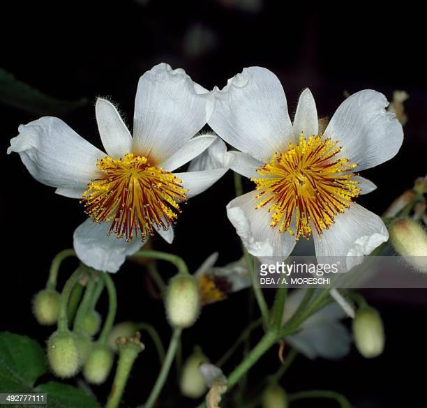 African Hemp or African Linden Malvaceae
