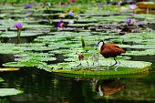 African Jacana (Male) and his chicks.