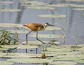 An African Jacana walking on lily pads on the Okavango River