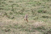 A small jackal walking in the Ngorongoro crater in Tanzania, while looking at a zebra who got killed by lions