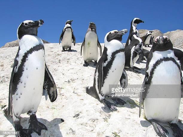African Jackass Penguins