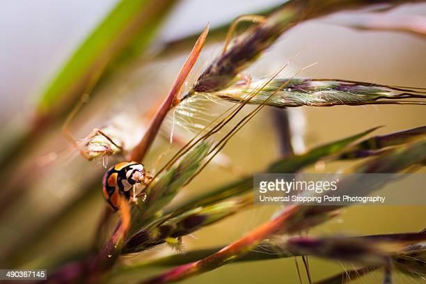 African Ladybug in Weeds