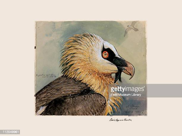African Lammergeyer Plate 26 a watercolor Louis Agassiz Fuertes 1926