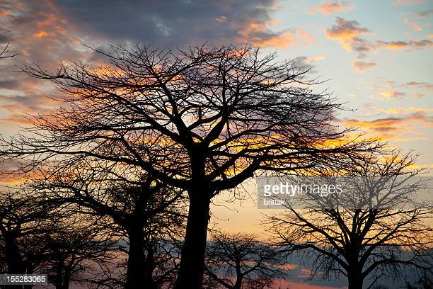 African landscape. Baobab tree silhouetted against the evening sky. Tanzania.
