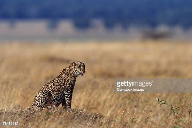 African leopard in grasslands , Kenya , Africa