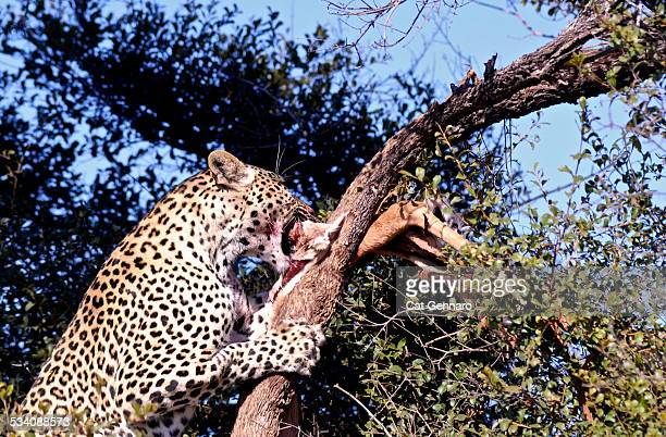 African Leopard with Nyala Carcass