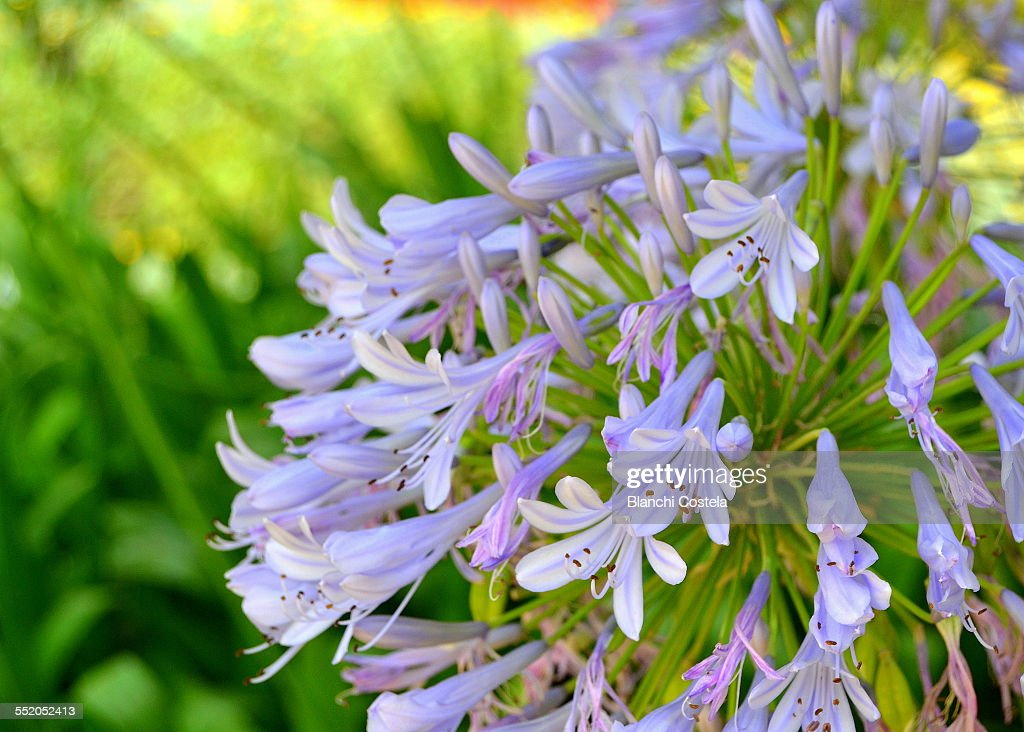 African lily in the garden